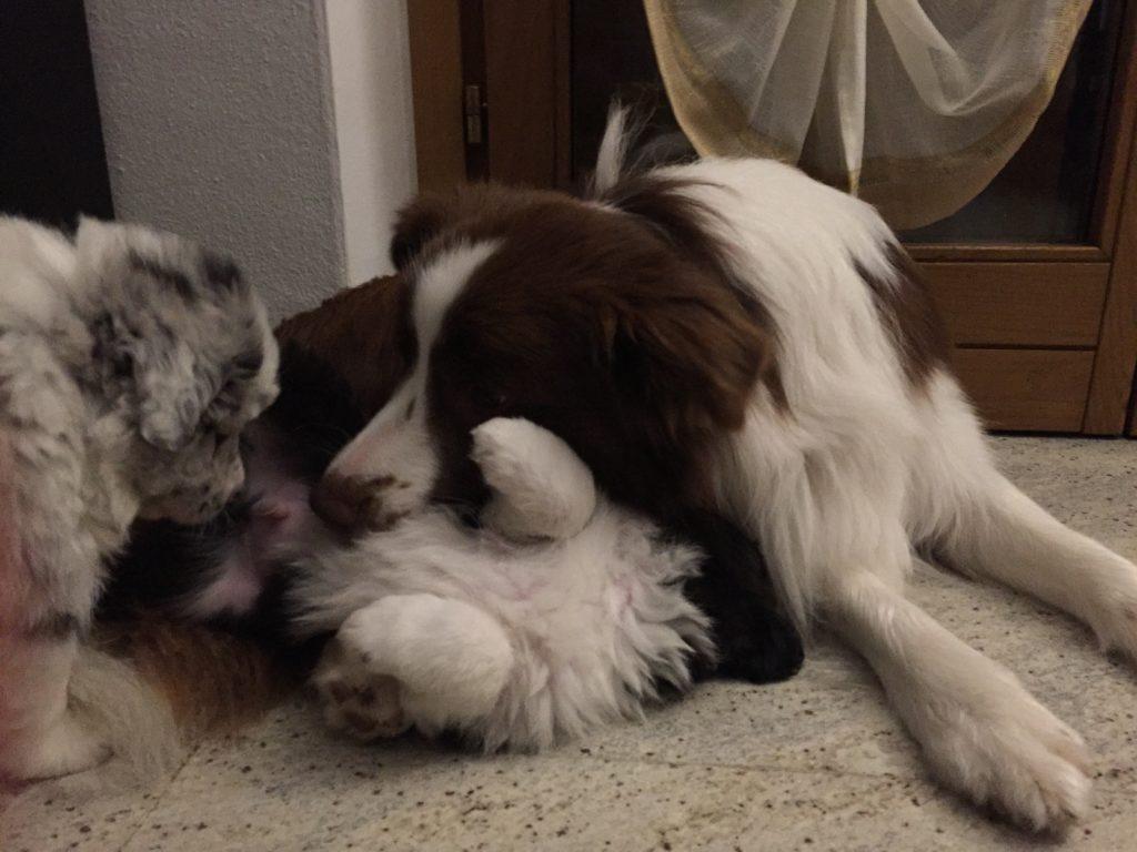 puppies border collies cuccioli